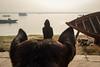 Watch dog (SaumalyaGhosh.com) Tags: watch dog man view viewers people color india benaras varanasi street streetphotography