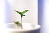 Autocultivo pequeña planta cannabis 10 (Cannabis y Salud) Tags: cannabismedicinal cannabisysalud crecimiento endocannabinologia growth pequeña planta small terapeuticacannabica argentina autocultivo bahiablanca marihuana marijuana plant bahíablanca buenosaires ar