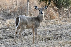 Blending In (Plummerhill) Tags: deer whitetaildeer indiana muscatatuck