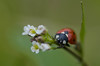 lady (Scholt's) Tags: lady ladybig bug coccinelle vert green nikon d7000 macro insect nature insecte