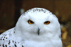 Snowy Owl @ Ouwehands 2017 (By Peter Hollander, thanks for + 200.000 views) Tags: owl snowyowl ouwehands zoo bird predator d7200 sigma150600sports nikon sigma