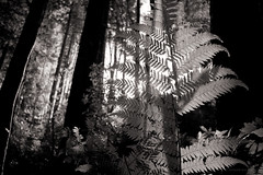 harmony (birdcloud1) Tags: forest equinox light lightanddarkness balance trees blackwhite monochrome canoneos80d eos80d canon1855mmlens 1855mmlens amandakeoghphotography amandakeogh birdcloud1 wood niksilverefex nature returning opendoor harmony peace
