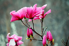 Just Breathe (dorameulman) Tags: dorameulman spring spring2018 magnoliasoulangia magnolia bokeh macro sigma105mmf28exdgmacroos canon7dmark11 canon haiku irishblessing peace justbreath worldpoetryday flower blossom