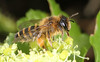 Andrena flavipes female (timz501) Tags: bee andrenaflavipes jersey