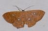 Geometrid Moth (Semaeopus illimitata) (berniedup) Tags: roura guyane moth belizon geometridae semaeopusillimitata taxonomy:binomial=semaeopusillimitata