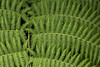 Fern in the Colombian Andes (PriscillaBurcher) Tags: fern pteridophyta monilophytes laceja colombia priscillaburcher l1560018