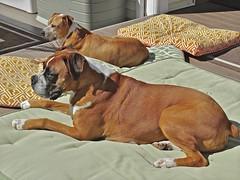 Watchful (Deepgreen2009) Tags: family dogs pets guarding boxer pitbull pair deck usa newyork garden home