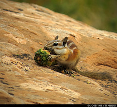 20160822_28 Chipmunk (Neotamias sp.?) gnawing on pine cone | Arches National Park, Utah (ratexla) Tags: ratexlasgreentortoisetrip2016 ratexlascanyonsofthewesttrip2016 nonhumananimals greentortoise canyonsofthewest 22aug2016 2016 canonpowershotsx50hs archesnationalpark utah usa theus unitedstates theunitedstates america northamerica nordamerika earth tellus photophotospicturepicturesimageimagesfotofotonbildbilder wanderlust travel travelling traveling journey vacation holiday semester resaresor ontheroad hiking hike sommar summer beautiful nature life organism nonhumananimal animal animals djur cute cool wild wildlife vild vilda biology zoology chipmunk chipmunks neotamiassp neotamias eating feeding omnomnom