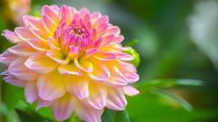 Dahlia / Hong Kong Flower Show 2018 (kcma17) Tags: causeway bay dahlia flower hk hong kong show island victor park 大麗花 維多利亞公園 花 銅鑼灣 香港島 香港花卉展覽 香港