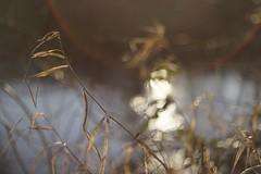 dry grass salmon creek dusk bokeh (CamasWashougalRealtor) Tags: bokehlicious bokehballs goldenhour canonfd bokeh depthoffield vintageprime vintagelens 18