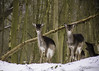 Snow and the Fallow twins (AKphotographyStaffordshire) Tags: 2018 winter cold cannockchase natural nature wildlife england uk fallow snow chase cannock amanda weller karl akphoto akphotography d500 nikon deer