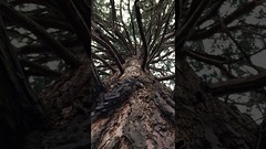 Giant redwood (Sequoiadendron giganteum) - canopy - March 2018 (terrencepickles) Tags: giant redwood sequoiadendron giganteum canopy march 2018
