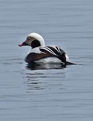 Backward glance (Snixy_85) Tags: duck longtailedduck clangulahyemalis deepbay