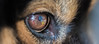 I C U (evakongshavn) Tags: macro macroshot macrounlimited makro makroaufnahmen closeup eye dog icu kingaiko reflections reflection 7dwf