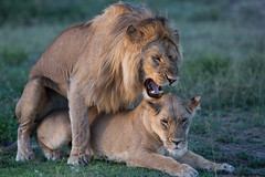 Have you finished? (Ring a Ding Ding) Tags: africa bigcat lion ndutu nomad pantheraleo serengeti tanzania action cat mammal mating nature predator safari wildcat wildlife arusharegion flickrbigcats ngc