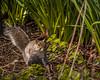 SSS_2706.jpg (S.S82) Tags: tudorgrangepark spring england squirrel travel nature wildlife rodent trip dayout westmidlands solihull uk ss82 park statepark unitedkingdom gb