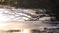 Lochan, still half frozen (prajpix) Tags: wood woods forest woodland plantation trees forestry invernessire highlands scotland winter ice snow water lochlochs lakepond pool