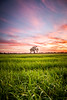 A Lonely Tree (rohitsanu1) Tags: sunset tree nature horizon vertical sky clouds grass land landscape settingsun vibrant colorful green beautiful gorgeous canon california ca canon5dmarkii canonef24105mmf4l amateur photography photographylife loveforphotography vignette edited