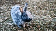 Icelandic Furry friend no.2 (tenshinouta) Tags: bunnyworld hollandlopbunny rabbitsofinstagram bunnylove rabbitbaby rabbits ryanoptics fabbunnies bunnyrabbit rabbitofig hops babyanimals bunnynose cuteanimals rabbit hollandlop igcutestanimals kiwifrom bunnystagram bunnies 9gag rabbitlove bunnyeating rabbithole bunnylovers buzzfeedanimals rabbitstagram bunnygram rabbitworld bunny rabbitworldwide