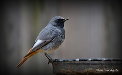 Black Redstart (male) - Bedfordshire (Alan Woodgate) Tags: