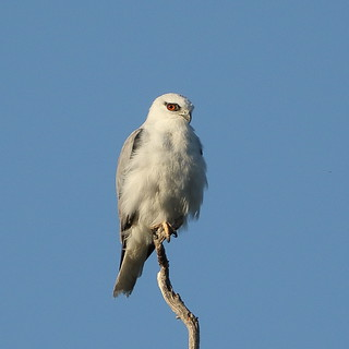 Black-shouldered Kite at North Lake