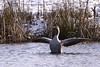 Hurray the ice has melted! (Englepip) Tags: goose pond snow bird creature reeds water