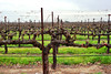 Lodi, CA 018 (Martini Mike / House of D'Arco) Tags: lodica lodi darco martinimike places usa nikon photo photograph photography photographer california ca norcal wwwthemartinimikecom vineyards grapevines