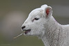 Lamm - Lamb (Susanne Weber) Tags: schaf eastern animal tier ostern