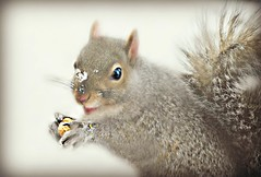~A Sunday kinda smile... (nushuz) Tags: macro graysquirrel clutchingapeanut smiling surroundedbysnow snowonhisnose justtooadorable vermont myporch mylittlebuddy happytofindpeanutsiguess asmilingsquirrel