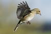 Pinson A6503911_DxO (jackez2010) Tags: ilce6500 fe100400mmf4556gmoss bif birdinflight pinsondesarbres