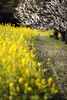 field of rape blossoms. (cate♪) Tags: rapeblossoms plumblossoms
