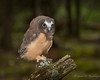 Northern Saw-whet Owl - Owlet (Turk Images) Tags: aegoliusacadicus aspenparkland borealfringe northernsawwhetowl agricultural alberta birds nsow owls strigidae thorhild