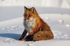 Enjoying a Warm Sunny Day (Dan King Alaskan Photography) Tags: redfox fox vulpesvulpes northslope alaska snow tundra canon50d sigma150500mm 150500mmf563apodgoshsm