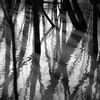 Flooded Banks 013 (noahbw) Tags: captaindanielwrightwoods d5000 desplainesriver dof nikon abstract blackwhite blackandwhite blur bw depthoffield distortion forest light monochrome natural noahbw reflection ripples river shadow square treetrunk trees water winter woods landscape floodedbanks