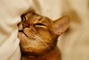 Lizzie in dreamland (DizzieMizzieLizzie (off for a while)) Tags: abyssinian aby beautiful wonderful lizzie dizziemizzielizzie portrait cat chats feline gato gatto katt katze katzen kot meow pisica sony animal pet 2017 cute bed siesta yellow neko macska kedi 猫 kočka kissa γάτα köttur kucing kaķis katė кошка mačka gatos kitteh chat ネコ beauty a6500 zeiss fe 55mm f18 za ilce6500 ilce sel55f18z sonnar awesome digital golden style 2018 dreamland