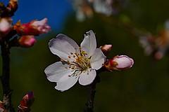 P1000494 (FABIÀ) Tags: 100v10f panasonic lumix dcg9 g9 leicadg leicadglens leicadg1260mm catalonia barcelona elvallès vallès vacarisses flowers closeup countrysise spring