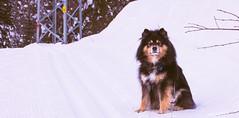 Soon finished being momarazzi?? (evakongshavn) Tags: dog dogs dogsonadventures winter snow new light white walk walkingthedog dogsthathike hike outside outdoors snowdog