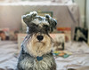 I Know What You Are Thinking (Joe_Petykowski_Jr) Tags: animal vinnie vinnietheschnauzer schnauzer miniatureschnauzer silver grey pet puppy 2018 animals dog