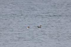 Long-tailed Ducks (maritimeorca) Tags: animal bird clallamcounty clangulahyemalis duck dungenessnationalwildliferefuge greatbackyardbirdcount longtailedduck washington