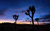 The Joshua Tree (languitar) Tags: joshuatreenationalpark usa tree silhouette sunset joshuatree nature california mountains sky night colorefex4 plant dark clouds colorefex nikcolorefex unitedstatesofamerica yuccabrevifolia palmtreeyucca treeyucca yuccapalm twentyninepalms unitedstates us desert