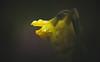 Daffodils (Dhina A) Tags: sony a7rii ilce7rm2 a7r2 kodak cine ektanar 102mm f27 kodakcineektanar102mmf27 vintage bokeh daffodils spring flower