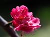 Japanese apricot (Prunus mume, 梅) blossoms (Greg Peterson in Japan) Tags: plants 植物 flowers japan shiga 守山市 梅 moriyama 花 plumblossoms 滋賀県 shigaprefecture