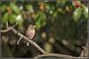 _DSC0063_Pinson des arbres (patounet53) Tags: commonchaffinch fringillacoelebs fringillidés passériformes pinsondesarbres bird oiseau