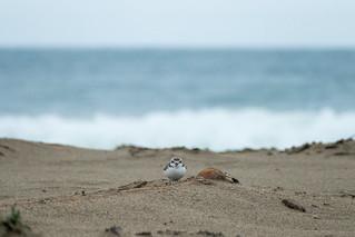 Female plover staredown
