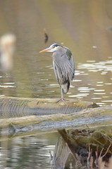 Heron (Neal D) Tags: bc abbotsford milllake bird heron greatblueheron ardeaherodias