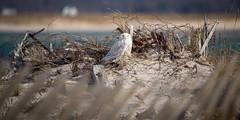 Snowy Owl (djrocks66) Tags: animals nature wildlife outdoors owl blue heron snowy great birds ny long island canon 5d mark iv