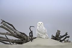 Snowy (Khurram Khan...) Tags: wildlife wildlifephotography wild wwwkhurramkhanphotocom winter owl snowyowl beach wood birdsofprey iamnikon nikonnofilter khurramkhan naturephotography