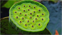 cup-shaped seed case….. (Jinky Dabon) Tags: canonpowershotsx170is lotus lotusseeds waterlily waterlilypeas pods edible vegetables green nature