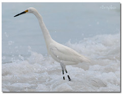 Snowy Egret (Betty Vlasiu) Tags: snowy egret egretta thula bird nature wildlife