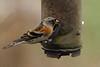 IMG_1962 Brambling (dwarren16011) Tags: brambling male fishers green fishersgreen walthamabbey
